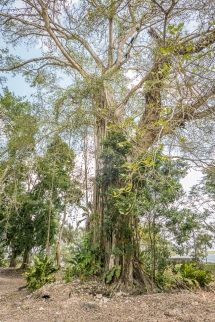 Strangler figs will eventually kill a tree
