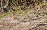 Rufous-necked Wood-rail - my new favorite bird!