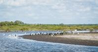 Jabiru Stork surrounded by many other wading birds
