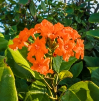 Flower of the orange-flowered ziricote trees preferred by the Red-footed Booby birds