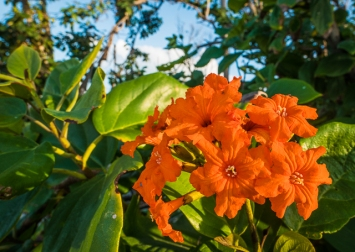 The flower of the orange-flowered ziricote tree. The boobys prefer this tree for nesting. The bird poop helps sustain the trees.