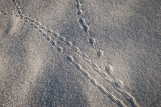 Tracks in new snow