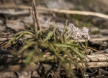 Tiny lomatium flower