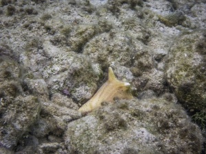 The area around the Caye is a conch reserve so no harvest is allowed!