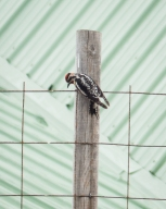 Red-naped Sapsucker banging its beak on the wire