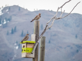 Northern Flickers discussing housing opportunities