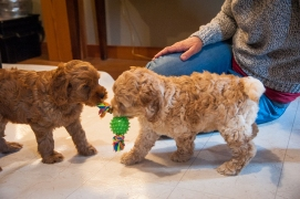 The roly poly blonde pup is going to another family