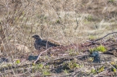 Female Dusky Grouse thinks she is hidden