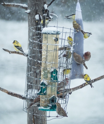 Finches at the feeder this snowy morning