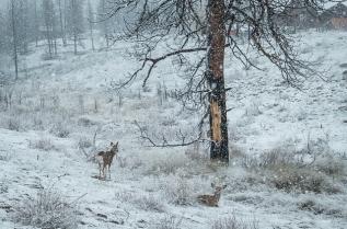 Two mule deer
