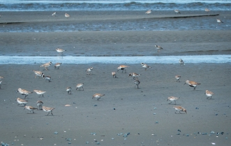 The ones with the black bellies are Dunlin