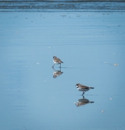 Semi-palmated Plovers