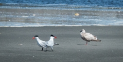 Caspian Terns and a gull