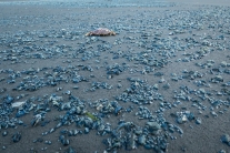 Velella velellas and crab