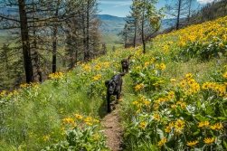 Most of these yellow flowers are balsamroot