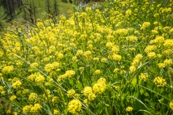 This yellow flower is a lomatium