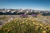 Buckwheat, phacelia and mountains