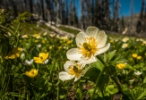 Anemone and buttercups