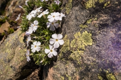 Phlox and lichen
