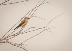 With the strange light from the smoke-filtered sunlight, I can't decide if this is a Western Kingbird or a Say's Phoebe although I lean towards the kingbird.