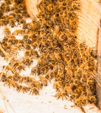 The honeybees beard up on the outside of the hive during the hot afternoons