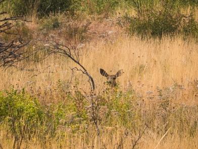 Big-eared mule deer
