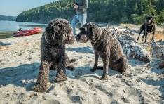 Luna met another labradoodle named Grover. He was about her size but obviously did not get a summer cut like Luna did.