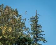 This Bald Eagle kept a watchful eye over the campground