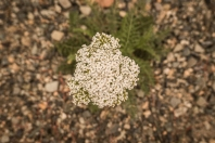 New yarrow flower