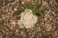 New yarrow flower