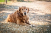 Old golden retriever