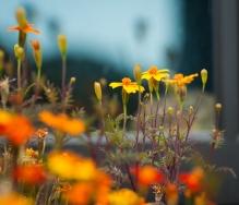 Flowers in a dye garden