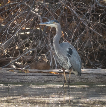 Great Blue Heron and hen Mallard