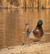 Mallard and another grebe, probably a Pied-billed Grebe