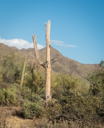 A saguaro snag