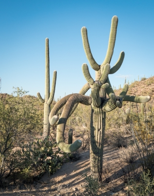 Many-armed saguaro