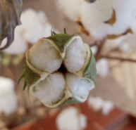 Cotton is farmed all over Arizona
