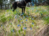 Dog and bluebells