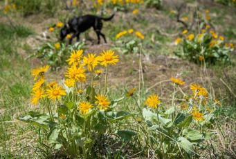 Dog and balsamroot