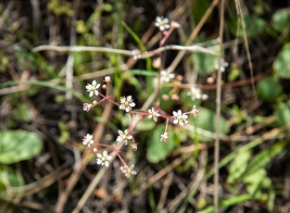 Micranthes sp. Saxifrage