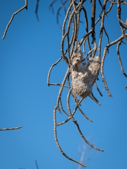 Last year's oriole nest