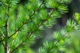 Western larch needles