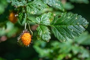 Salmonberry, a NW native