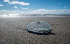 Vellela vellela, a jellyfish