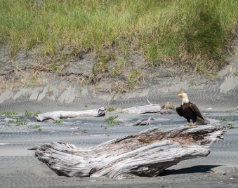 This Bald Eagle did not go far and it was not disturbed by the presence of people, dogs or cars.