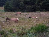 Roosevelt elk. All bulls in velvet