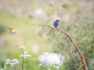 Western Bluebird with a Bullock's Oriole flying by