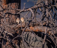 Two baby kestrels take in the last light of the day
