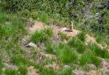 A very alert ground squirrel