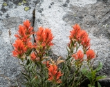 Lots and lots of Castilleja (paintbrush)